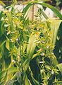 Eulophia-euglossa.jpg