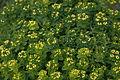 Euphorbia polychroma flowers 02.jpg