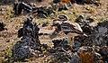 "Eurasian Stone-curlew (Burhinus oedicnemus insularum), ""El Jable"" Plains, Lanzarote (25061727151).jpg"