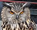 European Eagle Owl - Bubo bubo (598904211).jpg