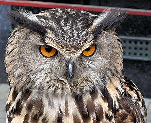 European Eagle Owl - Bubo bubo (598904211)