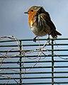 European Robin Erithacus rubecula on fence in Haringey, London 3.jpg