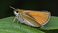 European Skipper (Thymelicus lineola) - Guelph, Ontario 04.jpg