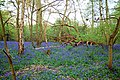 Evening Bluebells 1 (4584403091).jpg