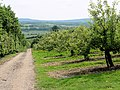 Extensive apple orchard plantation - geograph.org.uk - 456734.jpg