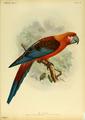 Extinctbirds1907 P10 Ara tricolor0301.png