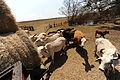 FEMA - 38641 - Displaced cattle eat fresh hay in Texas.jpg