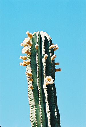 Pachycereus - Baja California, Mexico