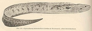 FMIB 42392 Gymnothorax steindachneri Jordan & Evermann; after Steindachner.jpeg