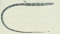 FMIB 45594 Lissocampus caudalis.jpeg