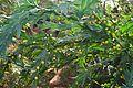 Fabaceae Mim. - Acacia glaucoptera BENTH. Lehm-Akazie aus West-Australien im Botanischen Garten Graz.jpg