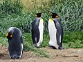 Facing each other King Penguin Colony Tierra del Fuego Chile.jpg