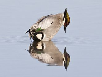 Colusa National Wildlife Refuge - Image: Falcated duck (6602072861)