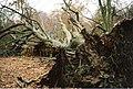 Fallen Beech near The Gallops, Savernake - geograph.org.uk - 1066544.jpg