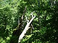 Fallen dawn tree - panoramio.jpg