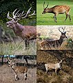 Family Cervidae five species.jpg
