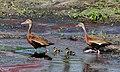 Family of Whistling Ducks.jpg