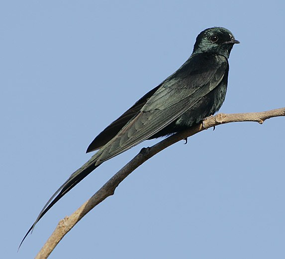 Fanti Saw-wing (Psalidoprocne obscura) (cropped)