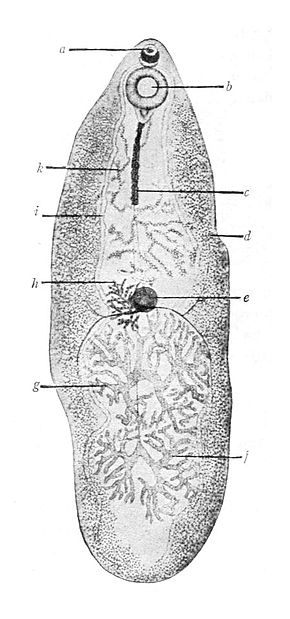 Description de l'image Fasciolopsis buski Giant intestinal fluke.JPG.