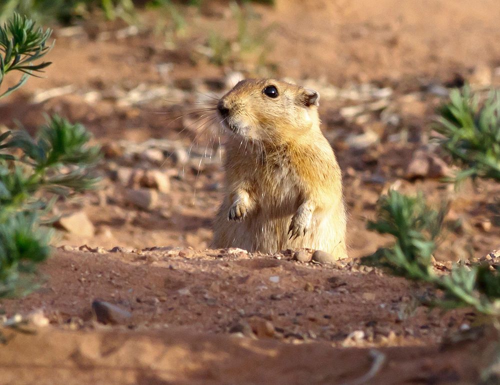 The average litter size of a Fat sand rat is 3