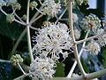 Fatsia japonica BotGardBln1105Inflorescence.JPG