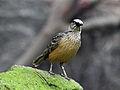 Fawn-breasted Bowerbird RWD2.jpg