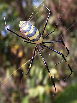 Female-nephila-clavata-dorsal-side.jpg