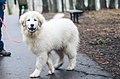 Female Pyrenean Mountain Dog.jpg