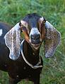 Female goat - Public Domain.jpg