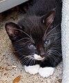 Feral tuxedo kitten 1.jpg