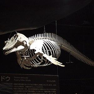Pygmy killer whale - Image: Feresa attenuata by Open Cage