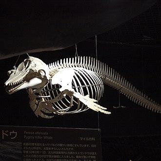 Pygmy killer whale - Skeleton of a pygmy killer whale