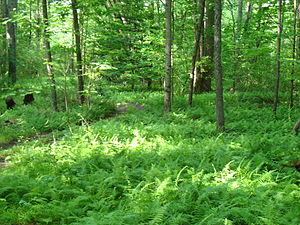 Fern bed under a forest canopy in woods near F...