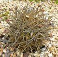 Ferocactus chrysacanthus 1.jpg