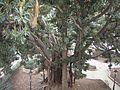 Ficus Magnolia - Syracuse, Sicily.jpg