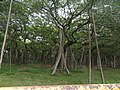 Ficus benghalensis-1-AJCBIBG-howrah-India.jpg