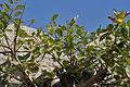 Ficus drupacea (Mysore Fig) in Bhongir fort, AP W IMG 2956.jpg