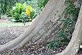 Ficus racemosa 11zz.jpg