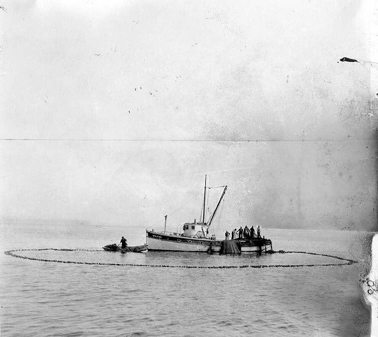 Fishermen purse seining in Puget Sound, ca 1917 (COBB 71).jpeg
