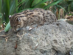 Fishing cat - A fishing cat at the San Diego Zoo. Note the ocelli on the backs of the cat's ears.