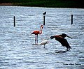 Flamenco and other birds in Camuy, Puerto Rico.jpg