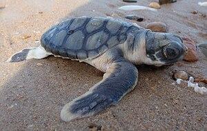 Flatback sea turtle - A flatback turtle hatchling on its way to the sea.