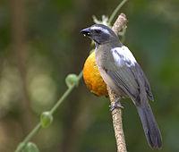 Flickr - Dario Sanches - TRINCA-FERRO-VERDADEIRO (Saltator similis) (1)