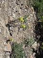 Flickr - brewbooks - Castilleja elmeri Cream-yellow paintbrush, Ascending to Fortune Creek Pass, Teanaway.jpg