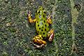 Flickr - ggallice - Dart frog.jpg