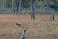 Flickr - ggallice - Spotted hyaena.jpg