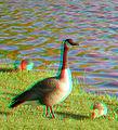 Flickr - jimf0390 - JimF 05-13-10-0030a baby geese.jpg