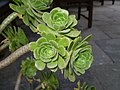 Flora at the Mukteshwar, District Nainital, Uttaranchal P6040396.jpg