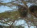 Flora of Tanzania 2443 Nevit.jpg