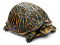 Florida Box Turtle Digon3a.jpg